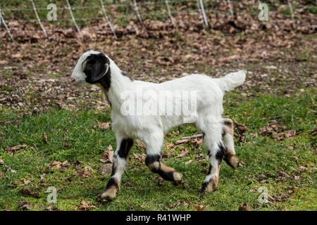 Issaquah, Washington State, USA. 12 day old mixed breed Nubian and Boer goat kid exploring the barnyard. (PR) - Stock Photo
