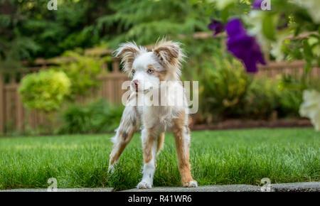Issaquah, Washington State, USA. Mini Australian Shepherd puppy playing in his yard. (PR) - Stock Photo