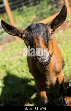 Issaquah, Washington State, USA. Close-up of an 11 week old Oberhasli goat. (PR) - Stock Photo