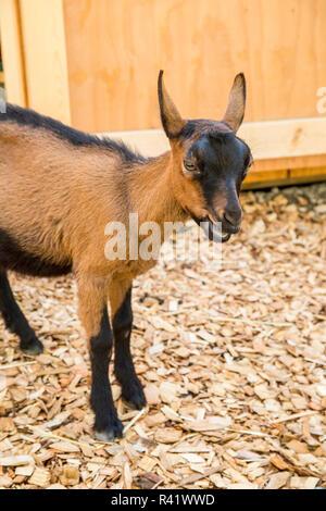 Issaquah, Washington State, USA. 11 week old Oberhasli goat standing near its barn. (PR) - Stock Photo