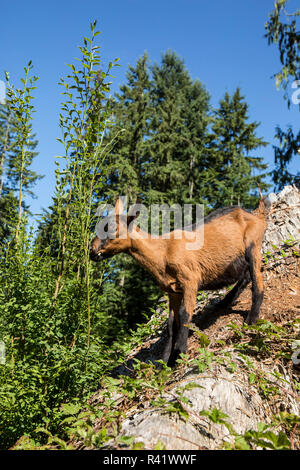 Issaquah, Washington State, USA. 11 week old Oberhasli goat eating blackberry bush vines on a hillside. (PR) - Stock Photo