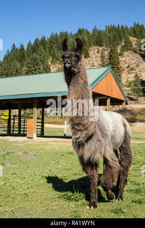 Leavenworth, Washington State, USA. Llama in front of a covered shelter. (PR) - Stock Photo