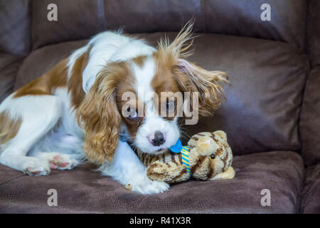 Six month old Cavalier King Charles Spaniel puppy looking guilty as she chews a stuffed animal. (PR) - Stock Photo
