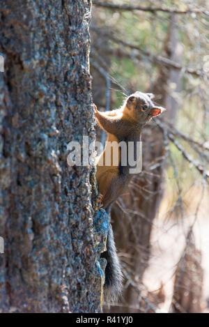 USA, Washington State. Douglas Squirrel (Tamiasciurus Douglasii) Anderson Point Campground Mt. Baker Snoqualmie National Forest - Stock Photo
