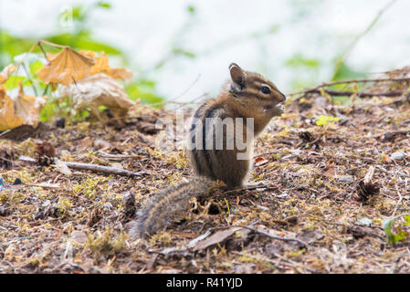 USA, Washington State. Mt. Baker Snoqualmie National Forest. Campground chipmunk - Stock Photo