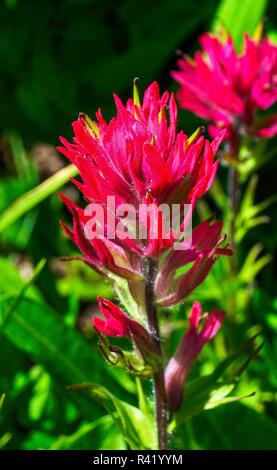 Magenta Indian Paintbrush Castilleja parviflora Wildflower Mount Rainier National Park, Paradise, Washington State - Stock Photo