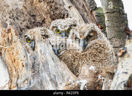 USA, Wyoming, Sublette County. Four, wet Great Horned Owl chicks hunker down in their cottonwood tree snag nest. - Stock Photo