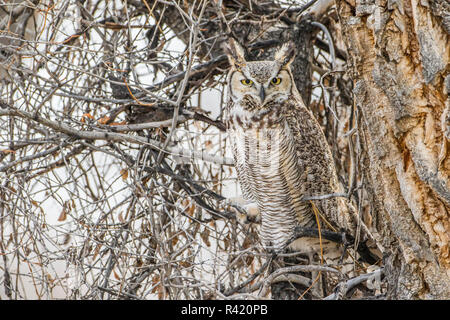 USA, Wyoming, Sublette County. Great Horned Owl roosting in February cottonwood tree. - Stock Photo