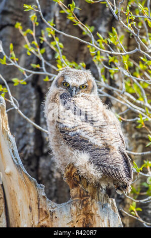 USA, Wyoming, Sublette County. Pinedale, Great Horned owl chick sitting on the edge of it's nest cavity during spring. - Stock Photo
