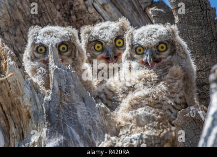 USA, Wyoming, Sublette County. Pinedale, three Great Horned owl chicks look out from their nest tree in a cottonwood snag. - Stock Photo