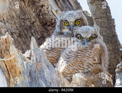 USA, Wyoming, Sublette County. Two Great Horned Owl chicks sitting on the edge of a Cottonwood Tree snag which has formed their nest. - Stock Photo