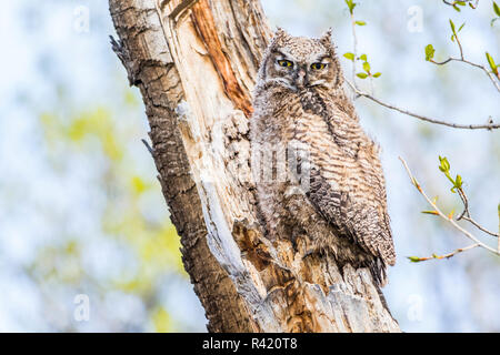 USA, Wyoming, Sublette County. Young Great Horned Owl recently left the nest and now sitting on a branch of a cottonwood tree. - Stock Photo