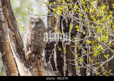 USA, Wyoming, Sublette County. Young Great Horned Owl sitting on the edge of it's nest in a cottonwood snag after a spring rainstorm. - Stock Photo