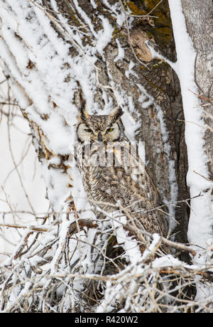 USA, Wyoming, Sublette County. Great Horned Owl perching in a Cottonwood tree after a spring snowstorm. - Stock Photo
