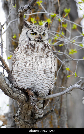 USA, Wyoming, Sublette County. Great Horned Owl sits on a cottonwood tree branch in springtime. - Stock Photo