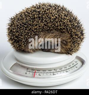 Little Hedgehog sleeping on a scale - Stock Photo