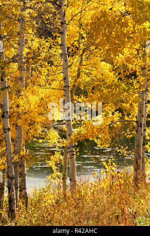 USA, Wyoming. Golden aspen leaves glow in sunlight next to a pond. - Stock Photo