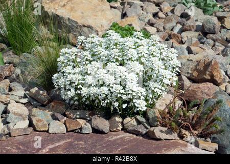 Schleifenblume, Iberis, sempervierens - Stock Photo