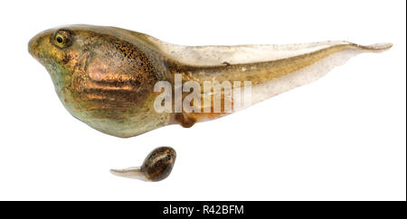 two tadpoles of frogs close up isolated - Stock Photo