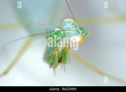 Macro Photography of Head of Praying Mantis Isolated on Background - Stock Photo