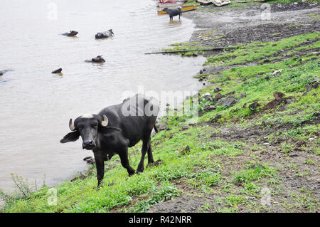 Young water buffalo with a white tuft of hair on the head in India - Stock Photo