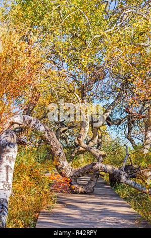 Path Through Crooked Birch Trees - Stock Photo