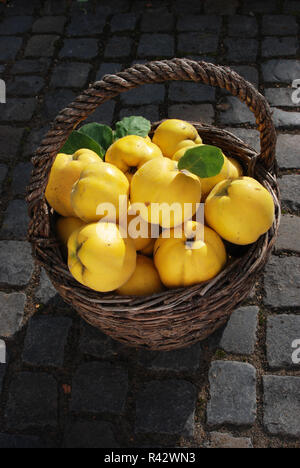 quince in harvest basket - Stock Photo