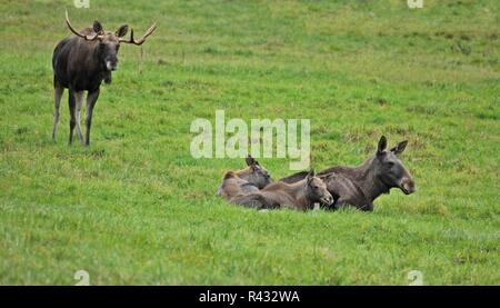 elchfamilie (alces alces) with five month old twins - Stock Photo