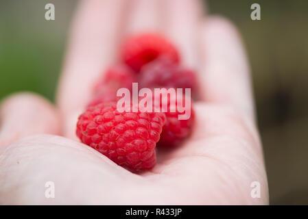 Handful of raspberry on a hand - Stock Photo
