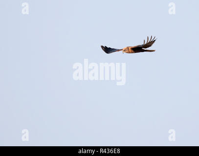 A wild Marsh harrier (Circus aeruginosus) in flight, Norfolk - Stock Photo