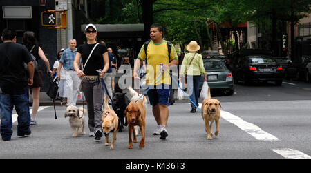 Two men, possibly professional dog walkers, cross a New York city street with five dogs in tow. - Stock Photo
