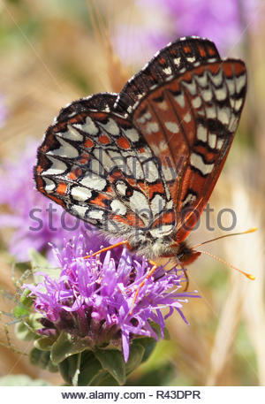 Variable Checkerspot (Euphydryas chalcedona) butterfly drinks flower nectar - Stock Photo