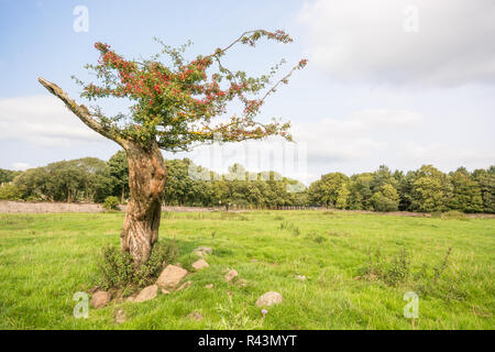 Twisted Hawthorn tree - Stock Photo