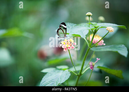 Fragile see through butterfly - Stock Photo