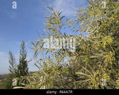 Beautiful blooming olive tree branch against blue sky - Stock Photo