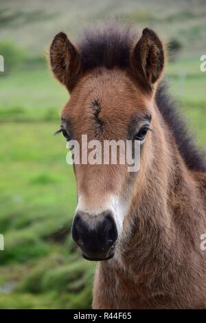 Portrait of a pretty Icelandic foal, bay. - Stock Photo