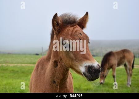 Portrait of a cute Icelandic foal, bay. - Stock Photo