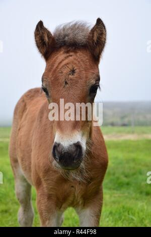 Portrait of a cute Icelandic foal, bay. - Stock Photo