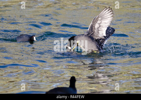 Two American Coots Battling in the Water - Stock Photo