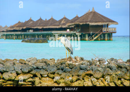 Grey heron ( Ardea Cinera) standing on a beach in the Maldives, water bungalow (huts) in background. Grey Heron tropical bird on Maldives beach, hunti - Stock Photo