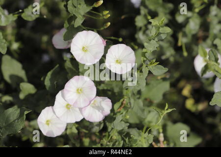 bindweed, allthough a kind of plague, this plant has beautiful flowers - Stock Photo