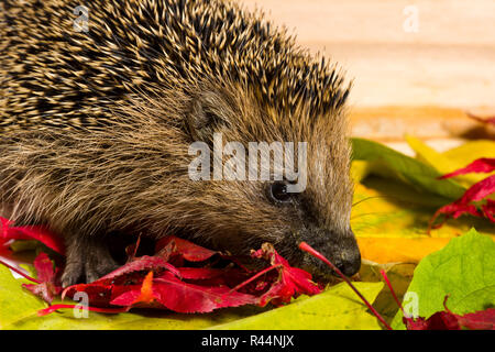 Hedgehog searching for fodder on autumn leaves - Stock Photo