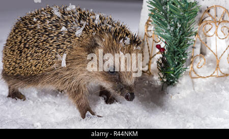 Little hedgehog searching for fodder in the snow - Stock Photo