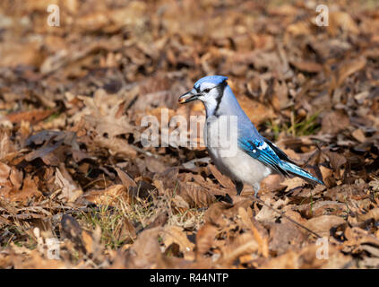 Blue jay (Cyanocitta cristata) searching acorns in fallen oak leaves, Iowa, USA - Stock Photo