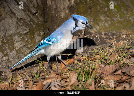 Blue jay (Cyanocitta cristata) searching acorns in under an oak, Iowa, USA - Stock Photo