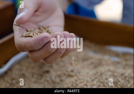A hand of a boy full of wheat seeds, under a wooden box filled with golden seeds. A white cloth peeps through the seeds along the edge of the box. - Stock Photo