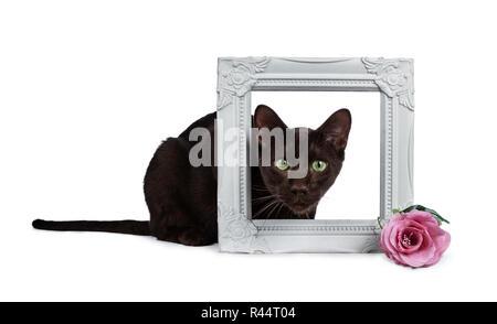 Handsome young adult Havana Brown cat laying down with head through a white picture frame decorated with pink rose, looking at camera with hypnotising - Stock Photo
