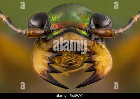 Tiger beetle - Cicindelinae - Stock Photo