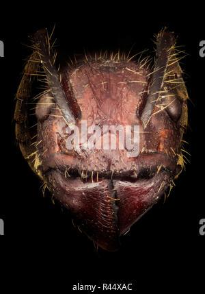 Paraponera clavata - bullet ant