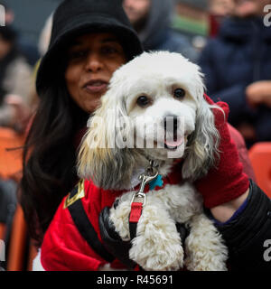 London, UK.  25 November 2018. Zeus, a Havanese, takes part in the Primrose Hill dog show during the Primrose Hill Christmas Fair.  The fun show raises money for local charities - Chalk Farm Food Bank and St Mary's Church Winter Appeal.   Credit: Stephen Chung / Alamy Live News - Stock Photo